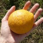 My first lemon!